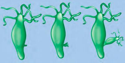 Hydra budding